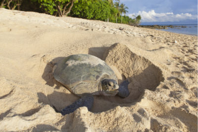 Sea Turtle Nesting in Costa Rica