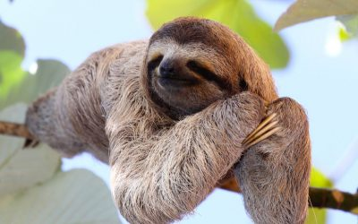 Central America Endangered Species: The Three-toed Sloth