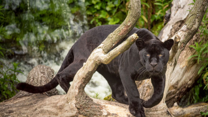 Central America Endangered Species: Black Jaguar